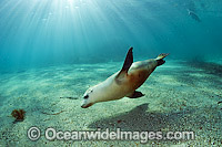 Australian Sea Lions playing and swimming Photo - Michael Patrick O'Neill