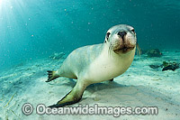 Australian Sea Lions swimming Photo - Michael Patrick O'Neill