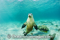 Australian Sea Lions playing Photo - Michael Patrick O'Neill