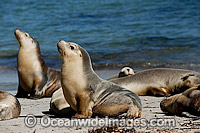 Australian Sea Lions on Hopins Island Photo - Michael Patrick O'Neill