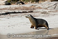 Australian Sea Lions on beach Photo - Michael Patrick O'Neill