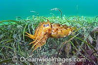 Giant Cuttlefish amongst Sea Grass photo