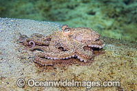 Caribbean Long Arm Octopus Octopus defilippi photo