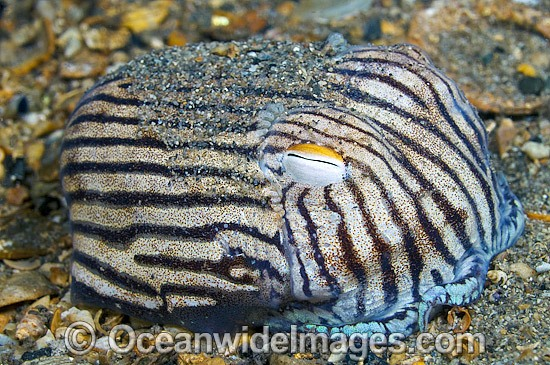 fa01a46f0c Striped Pyjama Squid Sepioloidea lineolata Photo - Michael Patrick O Neill