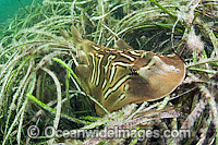 Southern Fiddler Ray in Sea Grass Photo - Michael Patrick O'Neill
