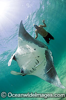 Manta Ray with Snorkel Diver Photo - Michael Patrick O'Neill