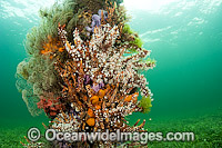 Jetty Pylons covered in sponges and coral Photo - Michael Patrick O'Neill