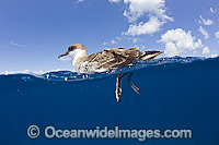 Great Shearwater on surface