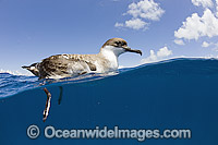 Great Shearwater on surface Photo - Michael Patrick O'Neill
