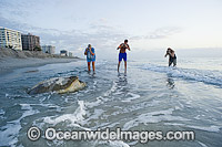 Green Sea Turtle returning to sea after laying eggs photo