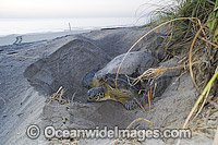 Green Sea Turtle covering nest photo