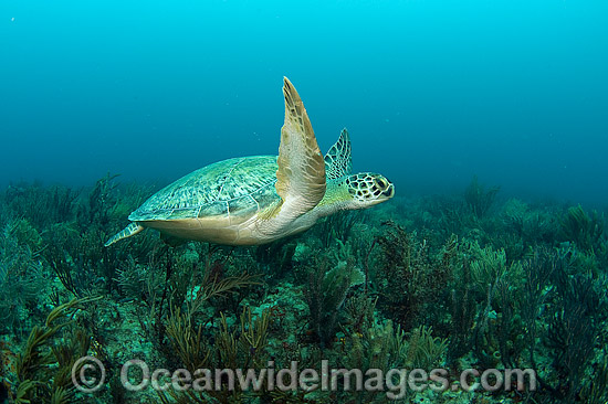 Green Sea Turtle (Chelonia mydas), resting on the bottom of the Breakers Reef in Palm Beach, Florida, USA. Photo - Michael Patrick O'Neill