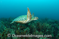 Green Sea Turtle resting on bottom photo