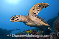 Hawksbill Turtle swimming photo