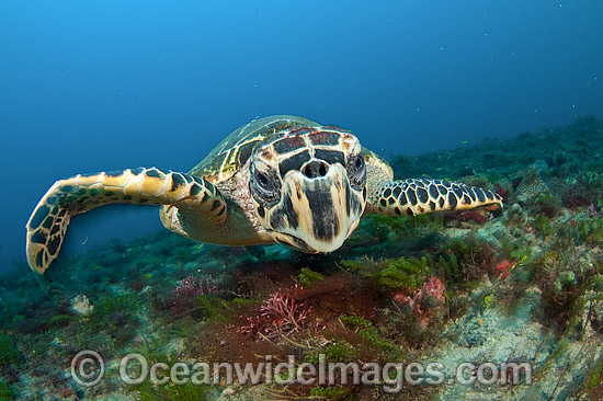 Hawksbill Sea Turtle (Eretmochelys imbricata), photographed in Palm Beach County, Florida, USA. Rare. Classified Critically Endangered species on the IUCN Red List. Photo - Michael Patrick O'Neill