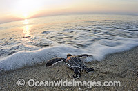 Leatherback Turtle hatchling Photo - Michael Patrick O'Neill