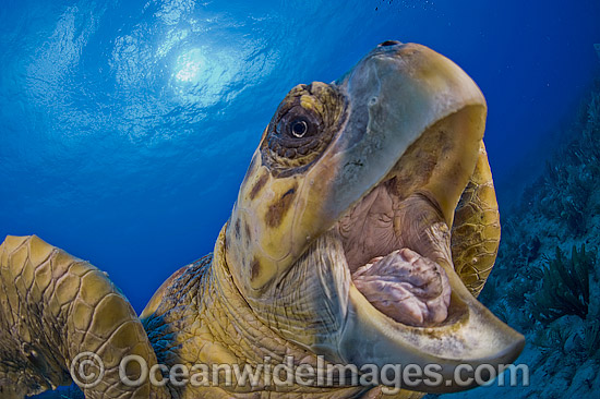 Loggerhead Sea Turtle (Caretta caretta), photographed in Palm Beach County, Florida, USA. Florida is home to half of the world's population, and Palm Beach County is a major nesting location. Photo - Michael Patrick O'Neill