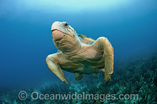 Loggerhead Sea Turtle (Caretta caretta), in Palm Beach County, FLorida, USA. Florida is home to half of the world's population, and Palm Beach County is a major nesting location. Photo - Michael Patrick O'Neill
