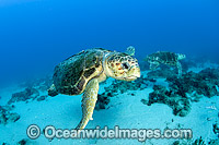 Loggerhead Turtle in Florida Photo - Michael Patrick O'Neill