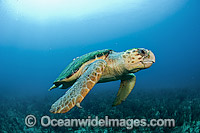 Loggerhead Turtle in Palm Beach Photo - Michael Patrick O'Neill