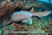Nurse Shark Photo - Michael Patrick O'Neill