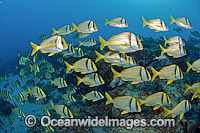 Schooling Porkfish photo
