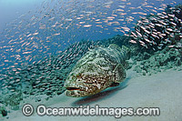 Goliath Grouper surrounded by Baitfish Photo - MIchael Patrick O'Neill