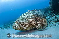 Atlantic Goliath Grouper Photo - MIchael Patrick O'Neill