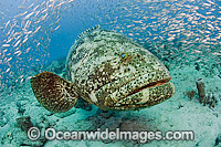 Atlantic Goliath Grouper surrounded by Baitfish Photo - MIchael Patrick O'Neill