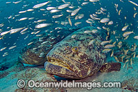 Goliath Grouper surrounded by Cigar Minnows Photo - MIchael Patrick O'Neill