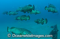 Goliath Groupers during spawning aggregation Photo - MIchael Patrick O'Neill