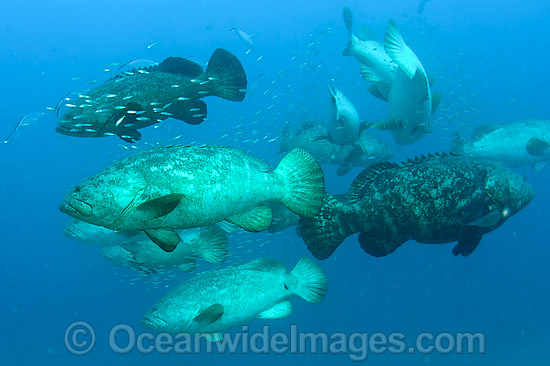 Atlantic Goliath Groupers (Epinephelus itajara), hover in mid-water during a spawning aggregation in Palm Beach, Florida, USA. Endangered species. Photo - MIchael Patrick O'Neill