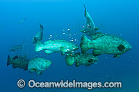 Atlantic Goliath Groupers during spawning aggregation Photo - MIchael Patrick O'Neill