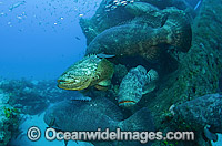 Goliath Grouper around shipwreck Photo - MIchael Patrick O'Neill