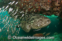 Goliath Grouper surrounded by Minnows Photo - MIchael Patrick O'Neill
