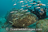 Scuba Diver and Atlantic Goliath Grouper Photo - MIchael Patrick O'Neill