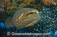 Atlantic Goliath Grouper surrounded by Minnows Photo - MIchael Patrick O'Neill