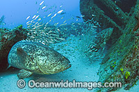 Atlantic Goliath Grouper around shipwreck Photo - MIchael Patrick O'Neill