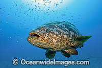 Goliath Grouper hovering around shipwreck Photo - MIchael Patrick O'Neill
