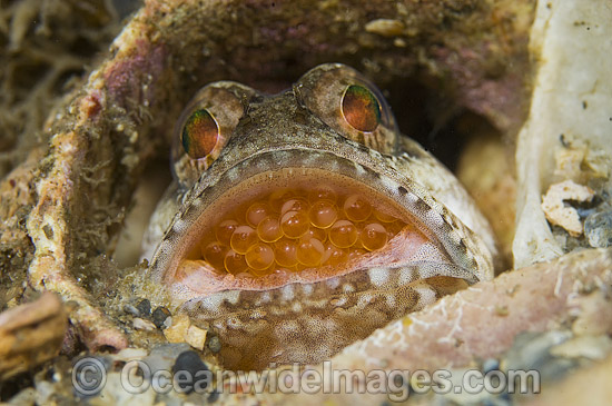 Banded Jawfish (Opistognathus macrognathus), male incubating eggs in mouth. Photo taken in the Lake Worth Lagoon, an estuary near the Palm Beach Inlet in Palm Beach County, Florida, USA.