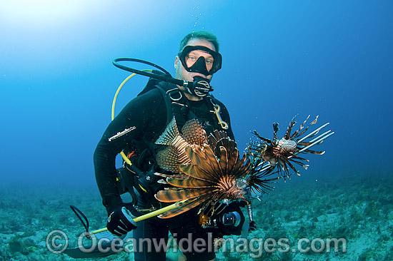 Scuba Diver with a catch of Lionfish (Pterois volitans), an invasive and poisonous species that has spread throughout the Caribbean and tropical Atlantic and threatens a variety of native marine life. Photo - Michael Patrick O'Neill