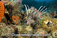 Volitans Lionfish in Florida Photo - Michael Patrick O'Neill