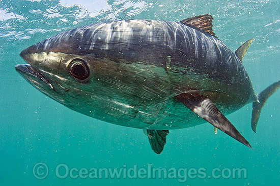Captive Southern Bluefin Tuna photo