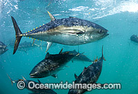 Captive Southern Bluefin Tuna Photo - Michael Patrick O'Neill