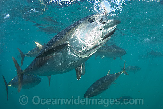 Captive Southern Bluefin Tuna (Thunnus maccoyii), held in a pen in Boston Bay in Port Lincoln, South Australia. Port Lincoln is the major hub for Southern Bluefin Tuna fishing in Australia. The species is considered critically endangered.