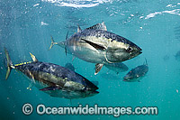 Southern Bluefin Tuna in pen