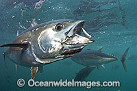 Captive Southern Bluefin Tuna
