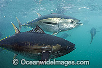 Southern Bluefin Tuna in pen image