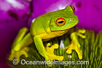 Red-eyed Tree Frog on Bromeliad Photo - Gary Bell
