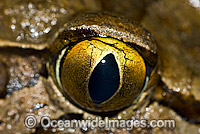 Giant Barred Frog eye Photo - Gary Bell